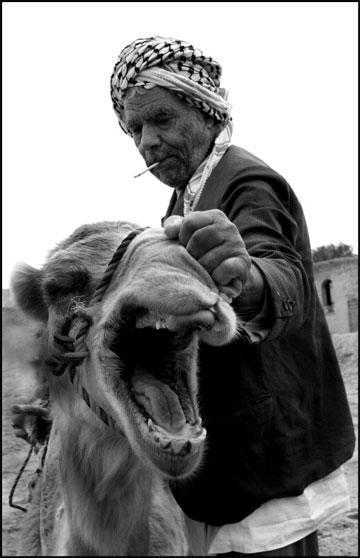 camel_iran_abadan-ahvaz-arab