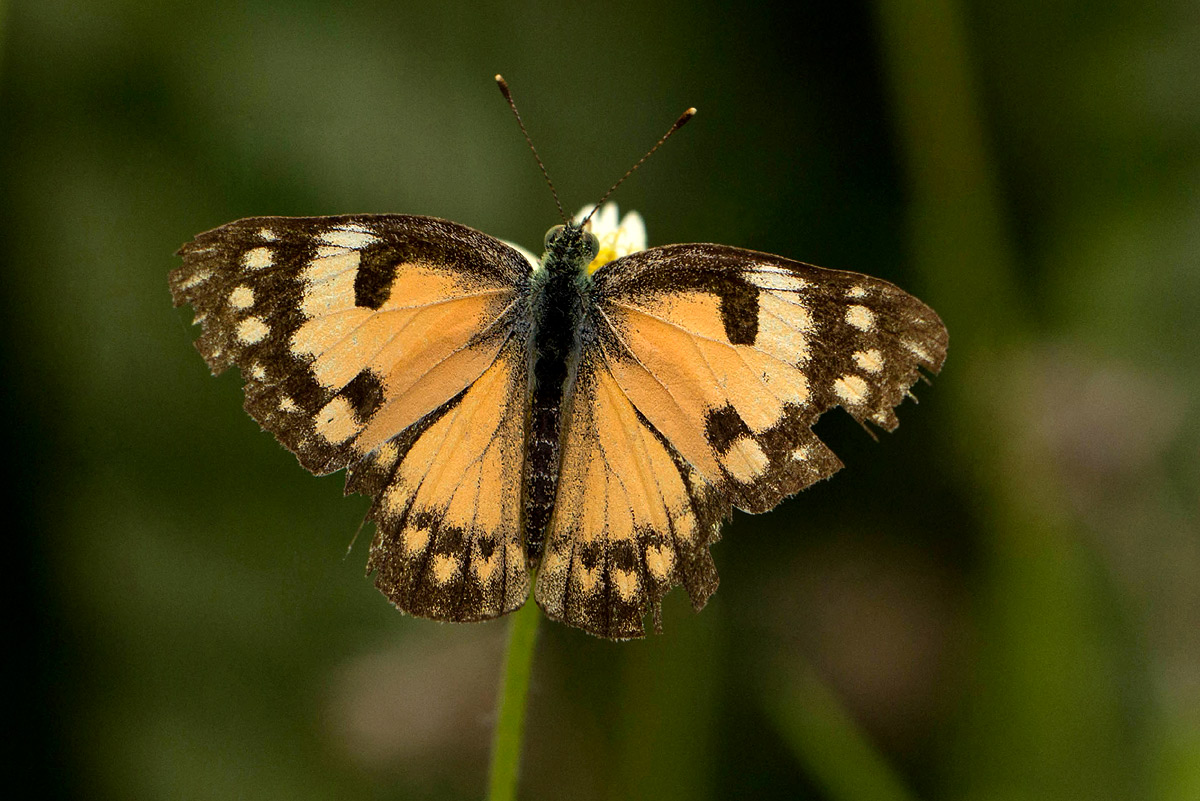Colotis amata