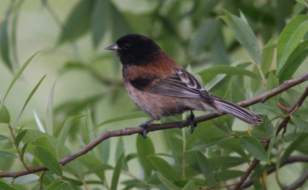 Iran birdwatching ,Black-headed-Penduline-Tit